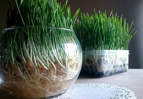 Soilless Pet Grass Kit
