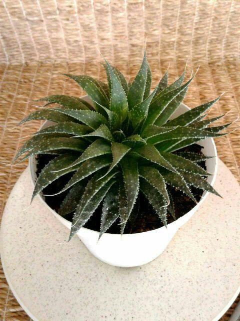 Aloe Aristata Succulent Plant in White Plastic #1 | NW Phoenix