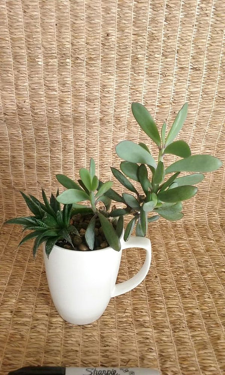 Windowsill Plant in Phoenix | Coffee Cup w/ Senecio Crassissimus Vertical Leaf