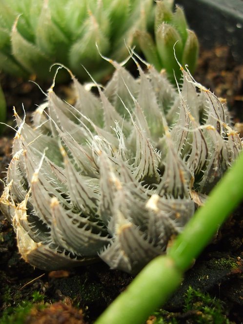 Succulent Plant, Haworthia Cooperi Pilifera