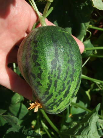 Second Organic Melon (Not Ready)