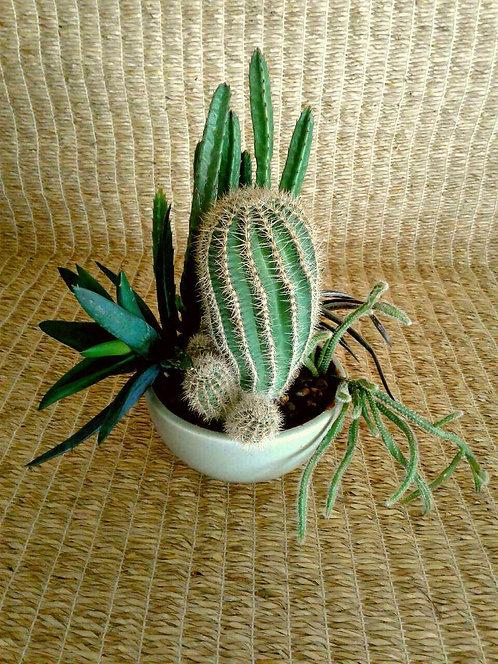 Succulent Plant, Rhipsalis Horrida