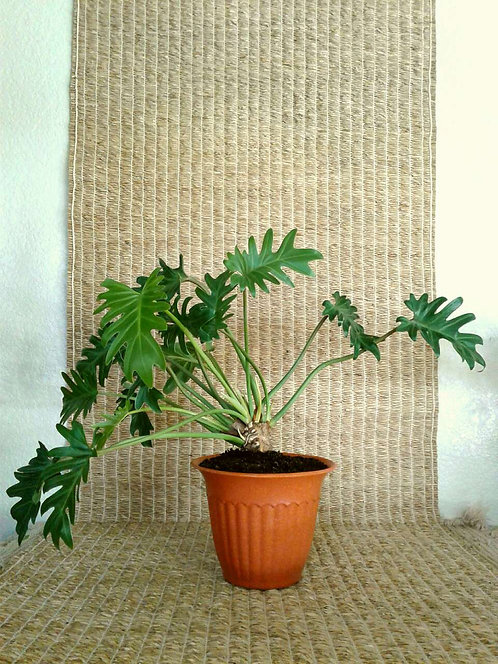 "Tropical Plant Philodendron Xanadu in 7"" Terracotta Bioplanter 