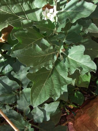 Eggplant Variety 2