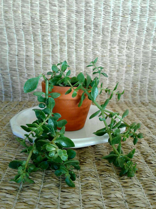 Crassula Volkensii in a Very Small Terracotta Pot |NW Phoenix