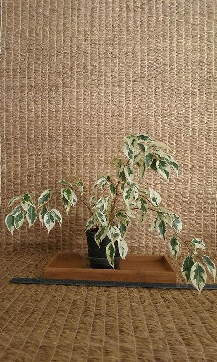 Slow-Growing Variegated Ficus #1