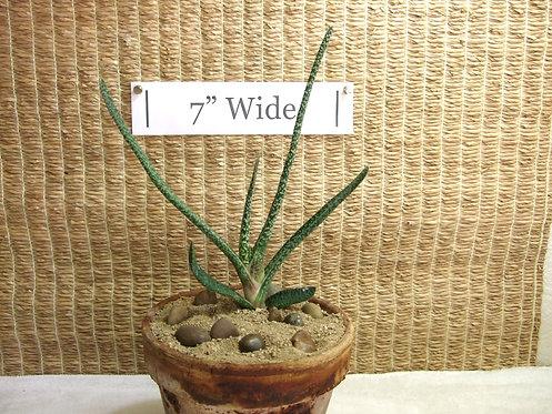 Potted Succulent Plant, Gasteria Carinata Verrucosa 1