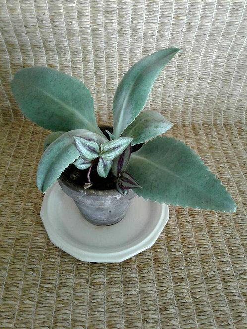 Kalanchoe Gastonis-Bonnieri 'Donkey Ear' Succulent | NW Phoenix