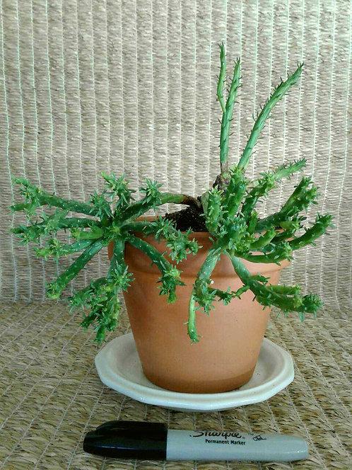 Succulent Plant, Euphorbia Muirii in Terra Cotta