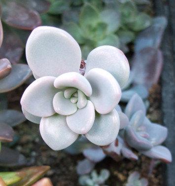 Succulent Plant, Graptopetalum Pentandrum (Young Plant)