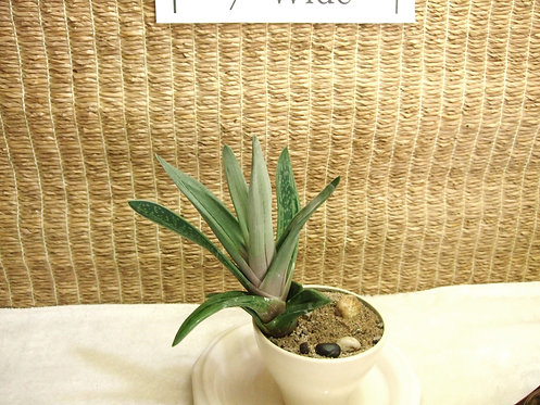 Succulent Plant, Gasteraloe Green Ice 1