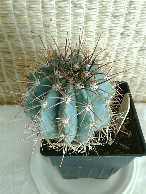 Succulent Plant (Cactus), Melocactus Azureus 1