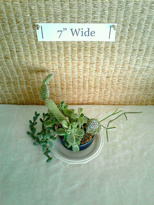 Succulents in Small Blue Dish | Potted Garden
