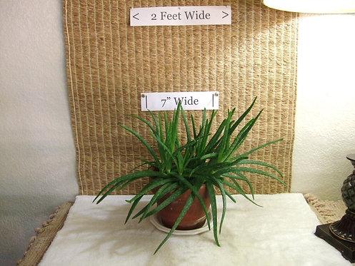 "Succulent ""Medicinal"" Aloe 1"