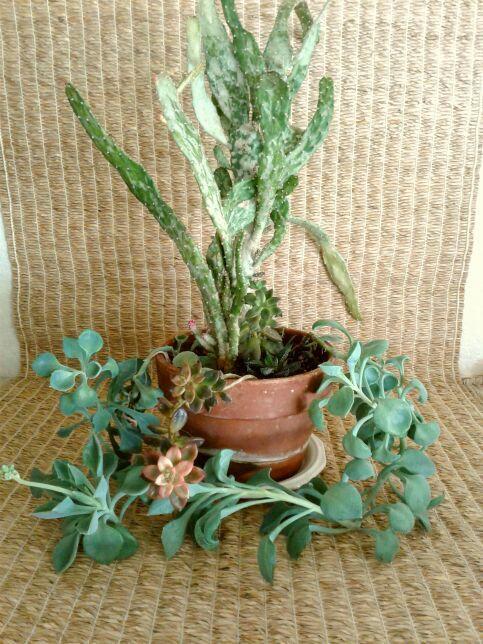 Opuntia Succulent Garden in Terra Cotta | Potted Garden
