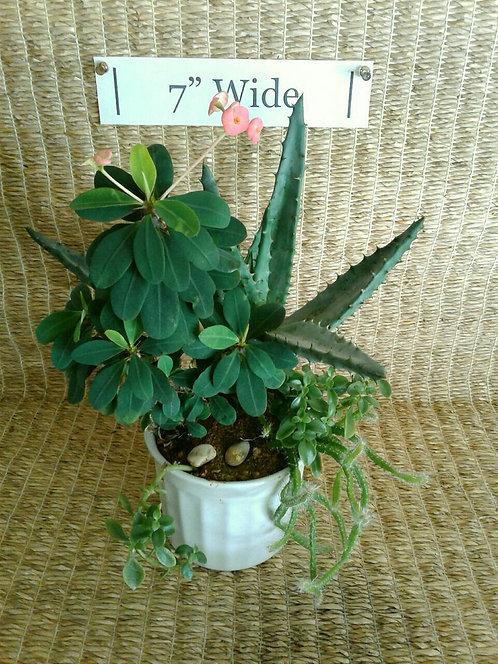 Euphorbia and Aloe in Ceramic | Potted Garden
