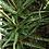 Succulent Plant, Gasteraloe 'Pink Lace' (Mature Plants)