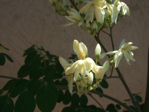 My Moringa Tree is Flowering