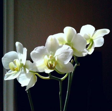Tropical Plant, Phalenopsis aka Moth Orchid (White and Green)