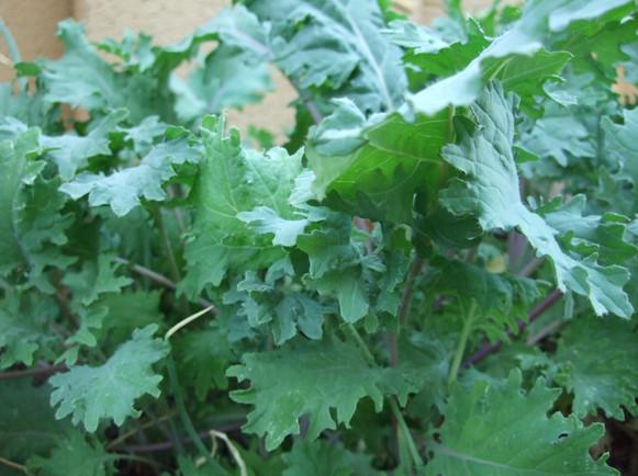 Kale Type 2