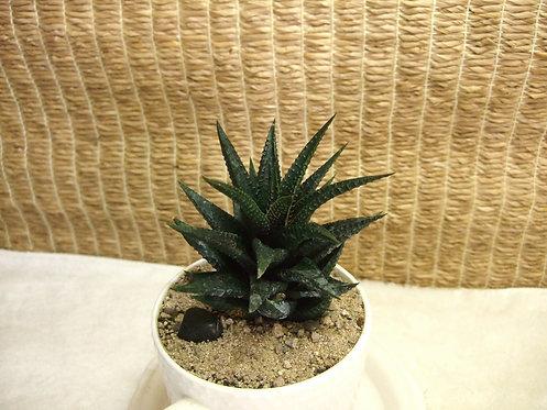 Succulent Plant, Haworthia Limofolia in Ceramic 1