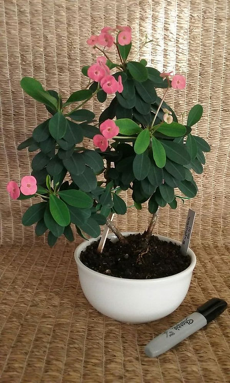 Euphorbia Milli Succulent Plant with Coral Flowers | NW Phoenix
