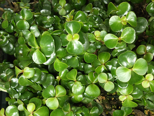 Succulent Plant, Portulacaria Afra 'Elephant Bush/Food'