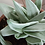 Succulent Plant, Gasteraloe 'Green Ghost' A (Top View of Clump)