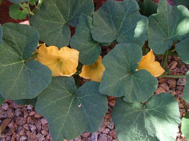 Male Squash Flowers