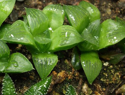 Succulent Plant, Haworthia Retusa Geraldii (Young)