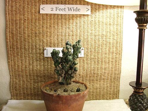 Succulent (Cactus) Plant, Cereus Validus Forbesii Monstrose 'Ming Thing' 1