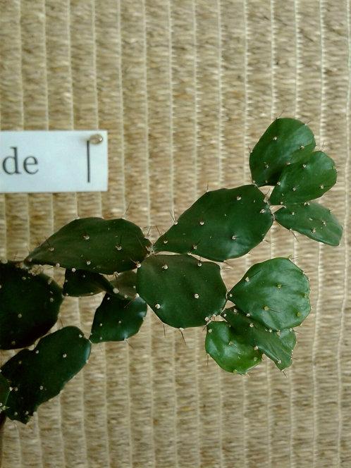 Succulent Plant (Cactus), Opuntia 'Tango'
