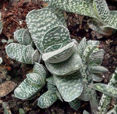 Small Succulent Plant, Gasteria Gracilis