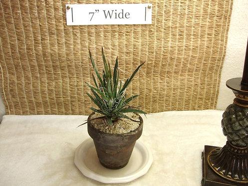 Succulent Plant, Agave Leopoldii Hybrid 1