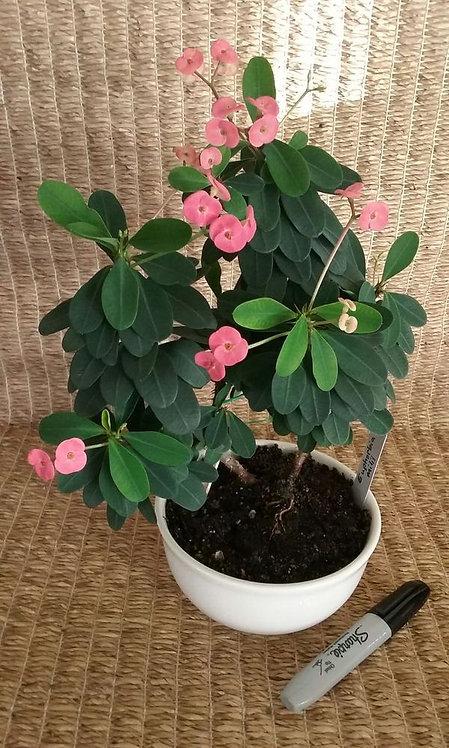Succulent Plant, Euphorbia Milii 'Crown of Thorns' Potted in Ceramic
