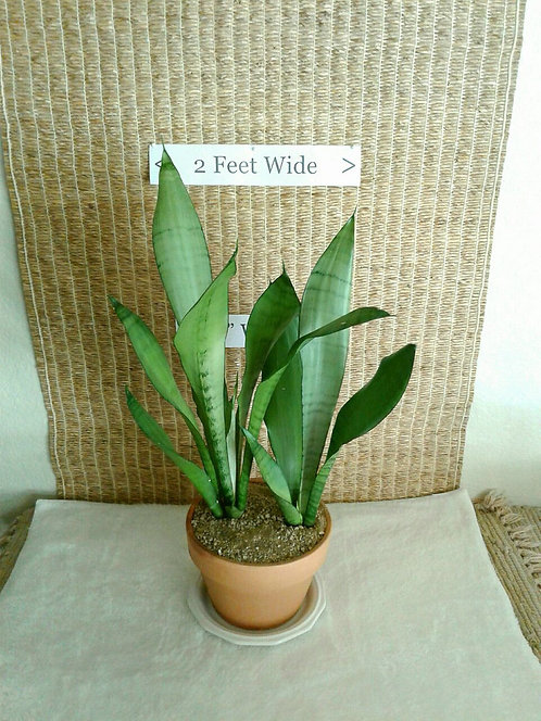 Tropical Snake Plant ('Moonshine' Variety) in Terracotta/Clay | Potted Plant