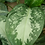 Tropical Plant, Aglaonema 'Chinese Evergreen' B (Close Up)