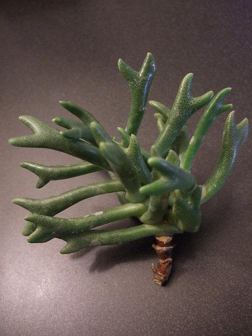 Succulent Plant, Rhombophyllum Dolabriforme Elkhorns