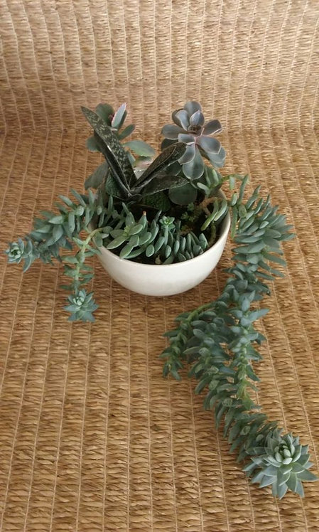 Indoor Plant in Phoenix | White Bowl with Sedeveria Super Burro's Tail