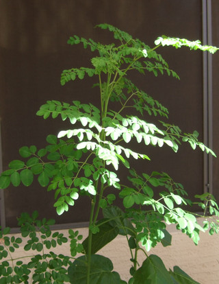 Growing Moringa in a Pot