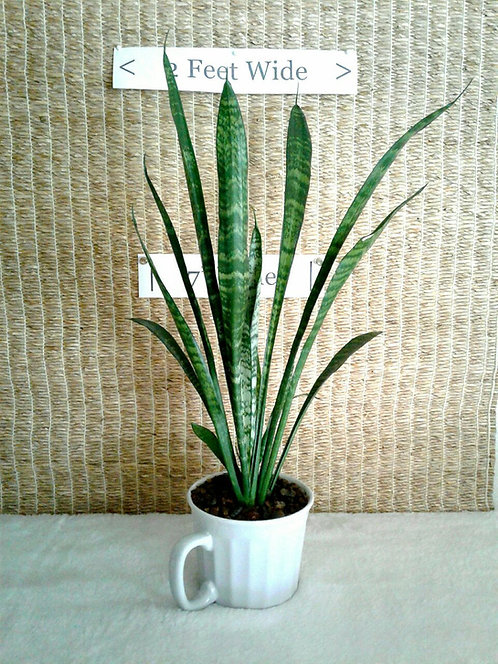 Tropical Snake Plant in White Ceramic | Potted Plant