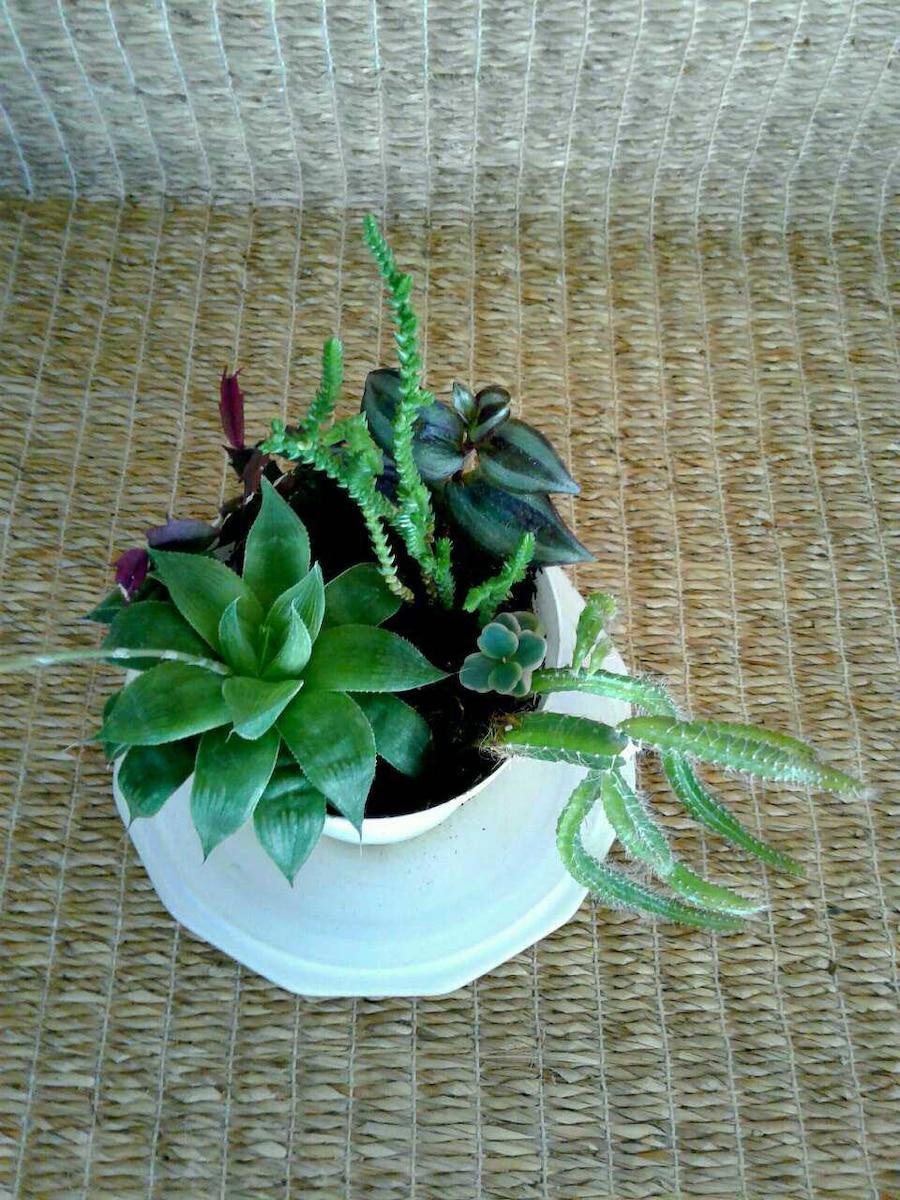 "Succulent garden in 4"" white plastic"
