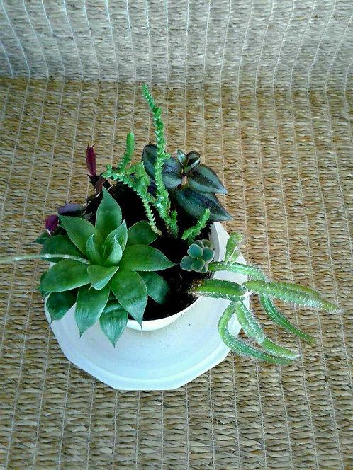 haworthia crassula tradescantia jew rhipsalis kalanchoe cactus Phoenix Scottsdale Paradise Valley succulents plant nursery