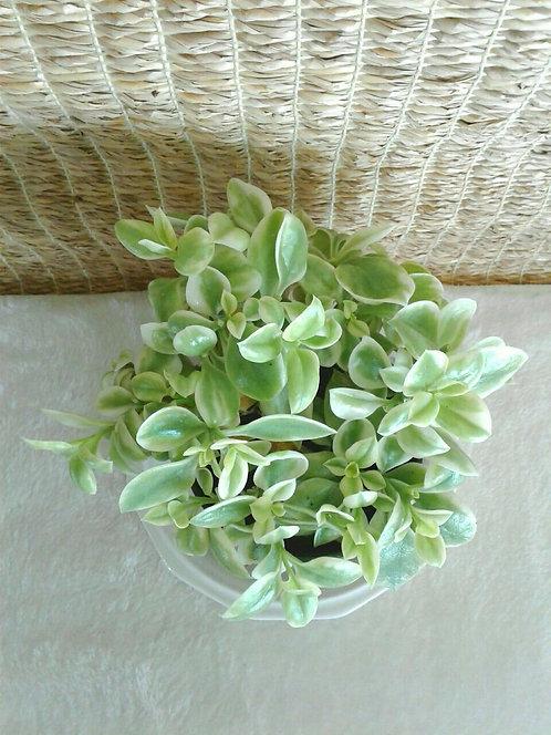 Succulent Plant, Dorotheanthus Bellidiformis Mezblica Mezoo 'Trailing Red'