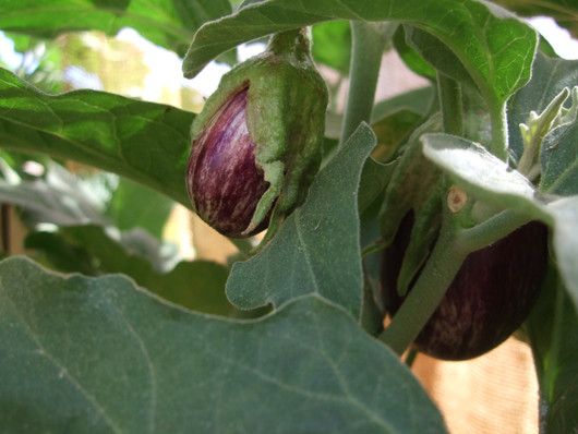 Second Eggplant Variety in my Organic Vegetable Garden