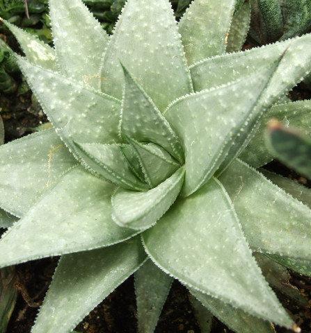 Succulent Plant, Gasteraloe 'Wonder' (Mature Plant)