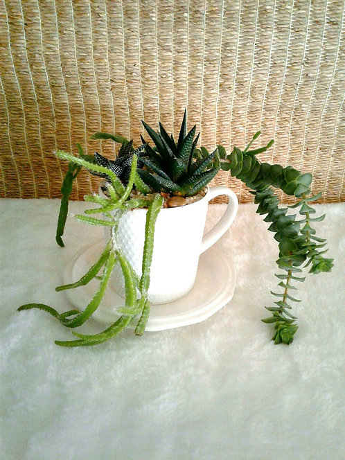 Succulents in Textured White Cup | Potted Garden