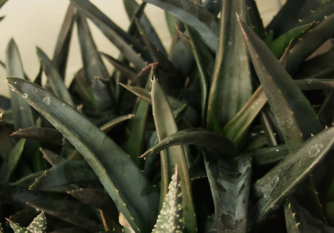 Succulent Plant, Aloe 'Black Gem' (Black Under Strong Light)