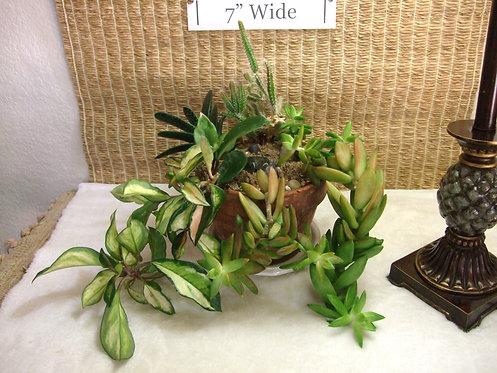 Dogtail Cactus and Hoya Succulent Garden in Terra Cotta 1