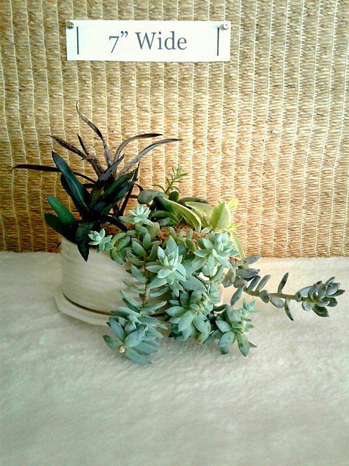 Succulents in Ribbed Dish #2 (Side View) | Potted Garden